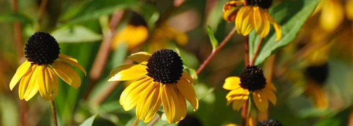 Madison Brown-eyed susans at the Owen Conservation Park in Madison. By Joshua Mayer [CC-BY-SA-2.0 (http://creativecommons.org/licenses/by-sa/2.0)], via Wikimedia Commons